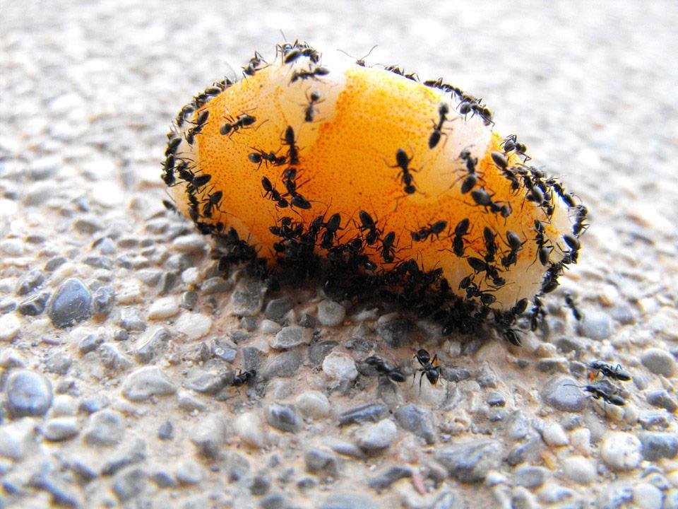 acababar con las plagas de hormigas